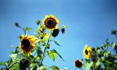 kbe_color_sunflower.jpg